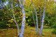 """Autumn Birches"""